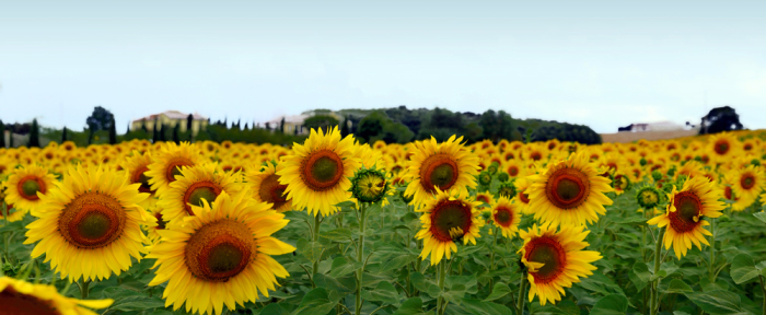 Girasoli Toscana