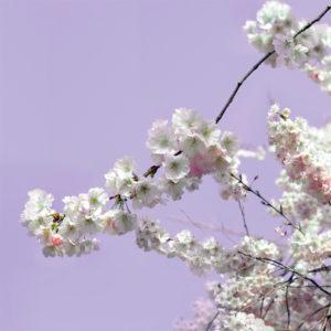 Fiori Primavera: Sfondo Viola