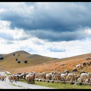60×20 cm Pecore al pascolo a Forca di Presta.